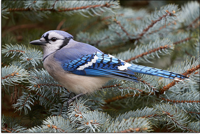 Sigma 100-400mm f/5-6.3 DG DN OS Contemporary Lens Blue Jay Sample Picture