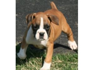 Boxer Puppies in Texas