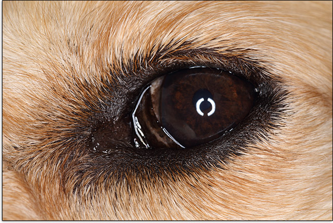 Ring Flash Catchlights in Dog