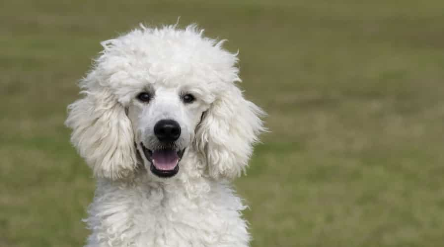 Standard Poodle Outdoors